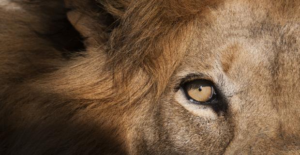 Close up of a lion eye, Panthera leo.